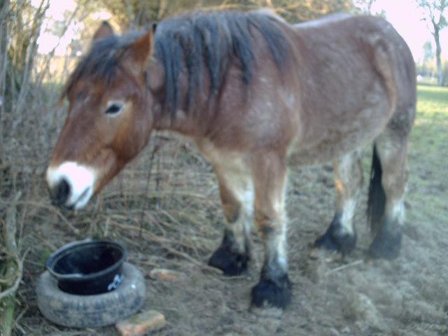 (dpt 27) VITTEAUX Trait Ardennais, né en 2009, rouan, hongre, NON MONTABLE (en famille d'accueil chez BENOIT) 368715PICT0004