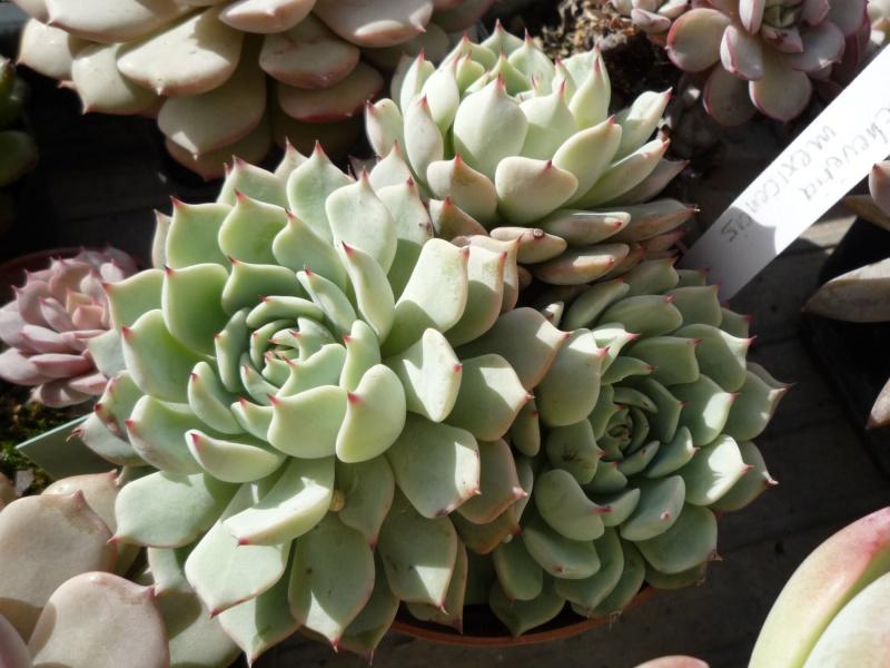 les Echeverias au bord des fenêtres... 371725mexicensis01