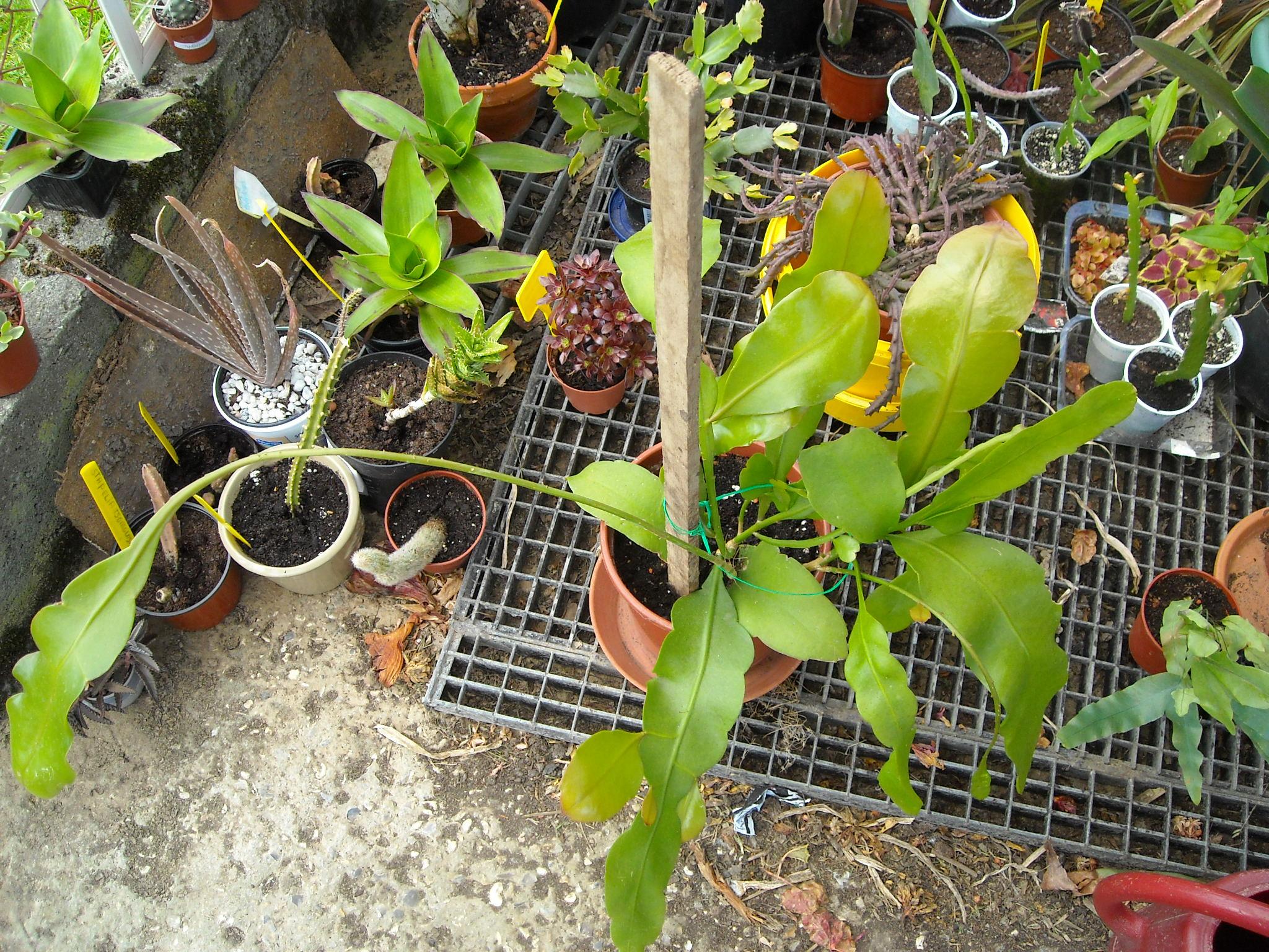 Epiphyllum oxypetalum 381369kalanchoeetautre003