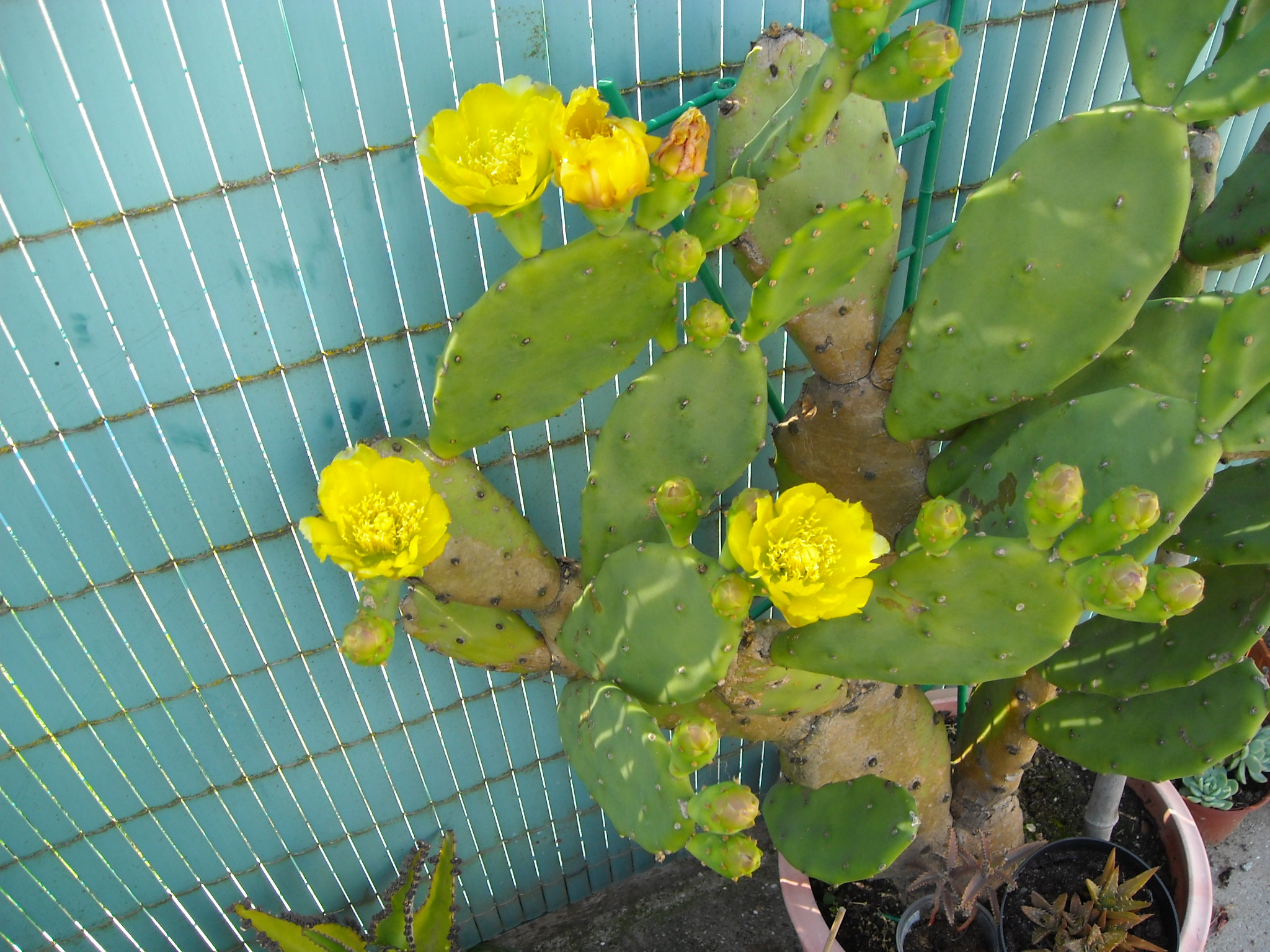 cactus figuier 381549cactusfiguier004