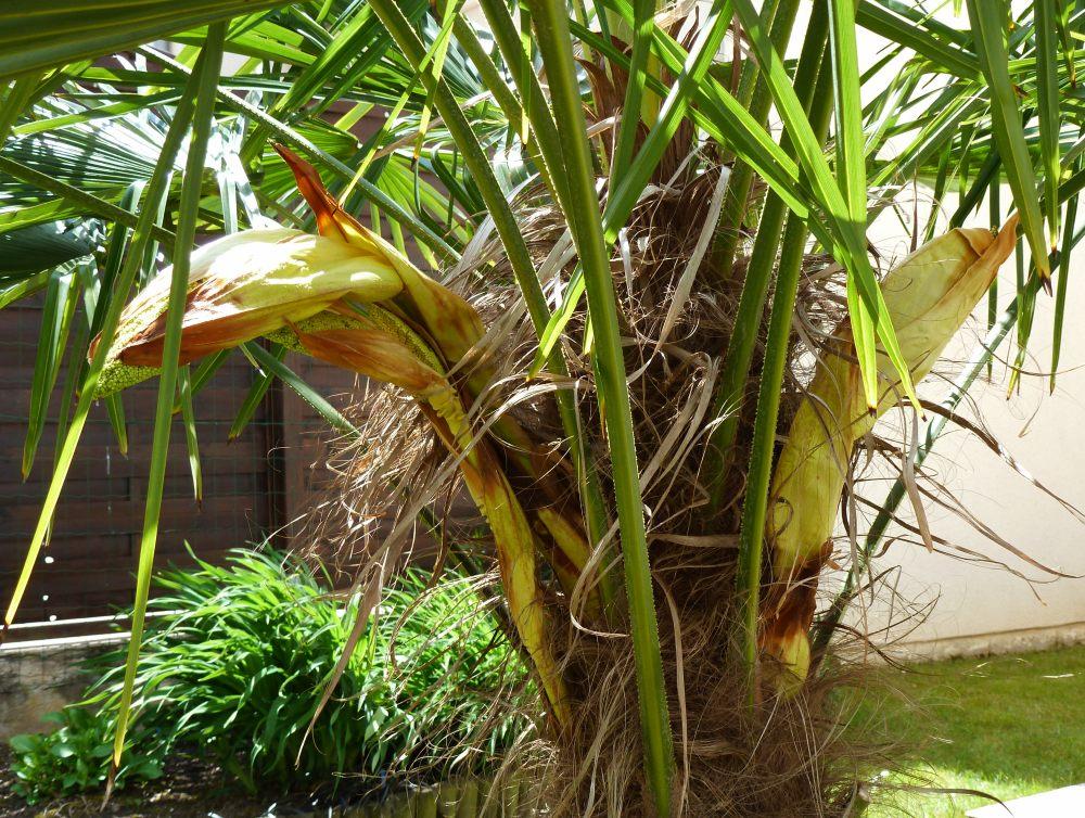 petit palmier deviendra grand... 385299Trachycarpus004