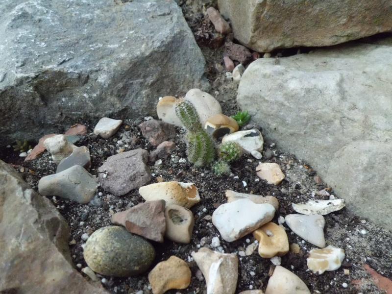 cactus de pô - Page 2 388108CIMG4347