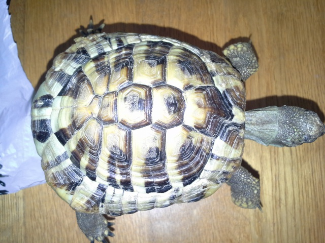 Identification de tortue terra 394622201407051210251