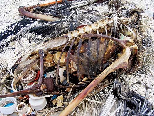 Sacs plastiques et toute sorte d'objet fait en plastique = danger pour les animaux (explication + photos + vidéo) 394748deadbird