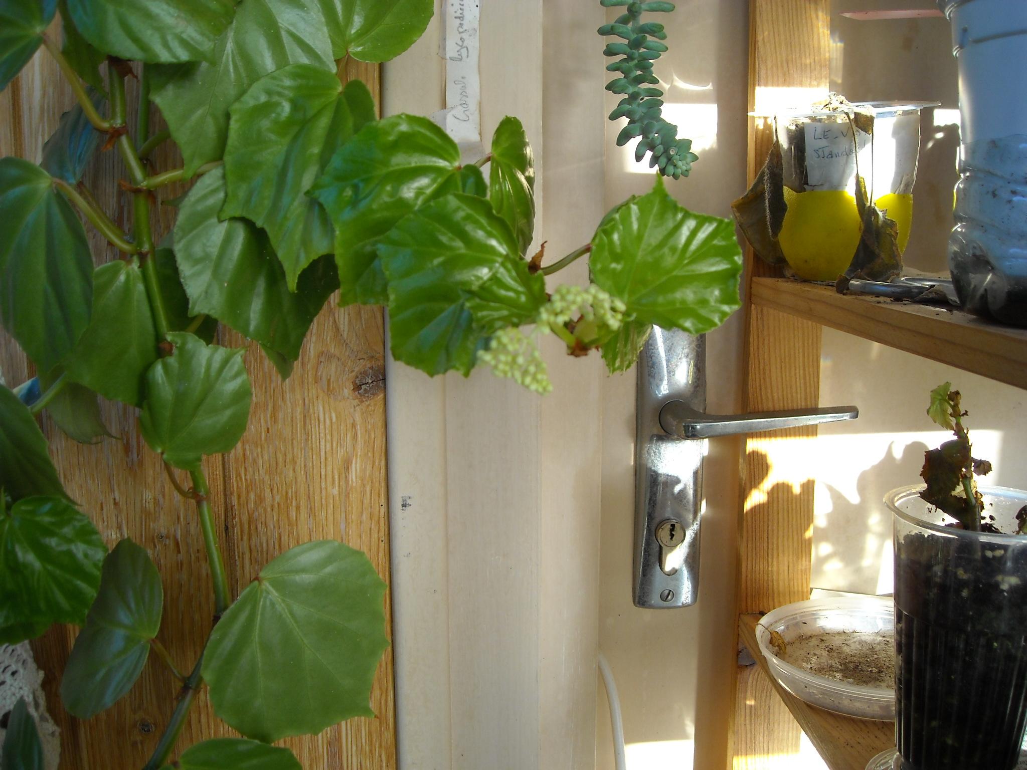 Begonia convolvulacea et ? 407556DSCN5127