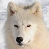 Les images des loups 408606imglumiere