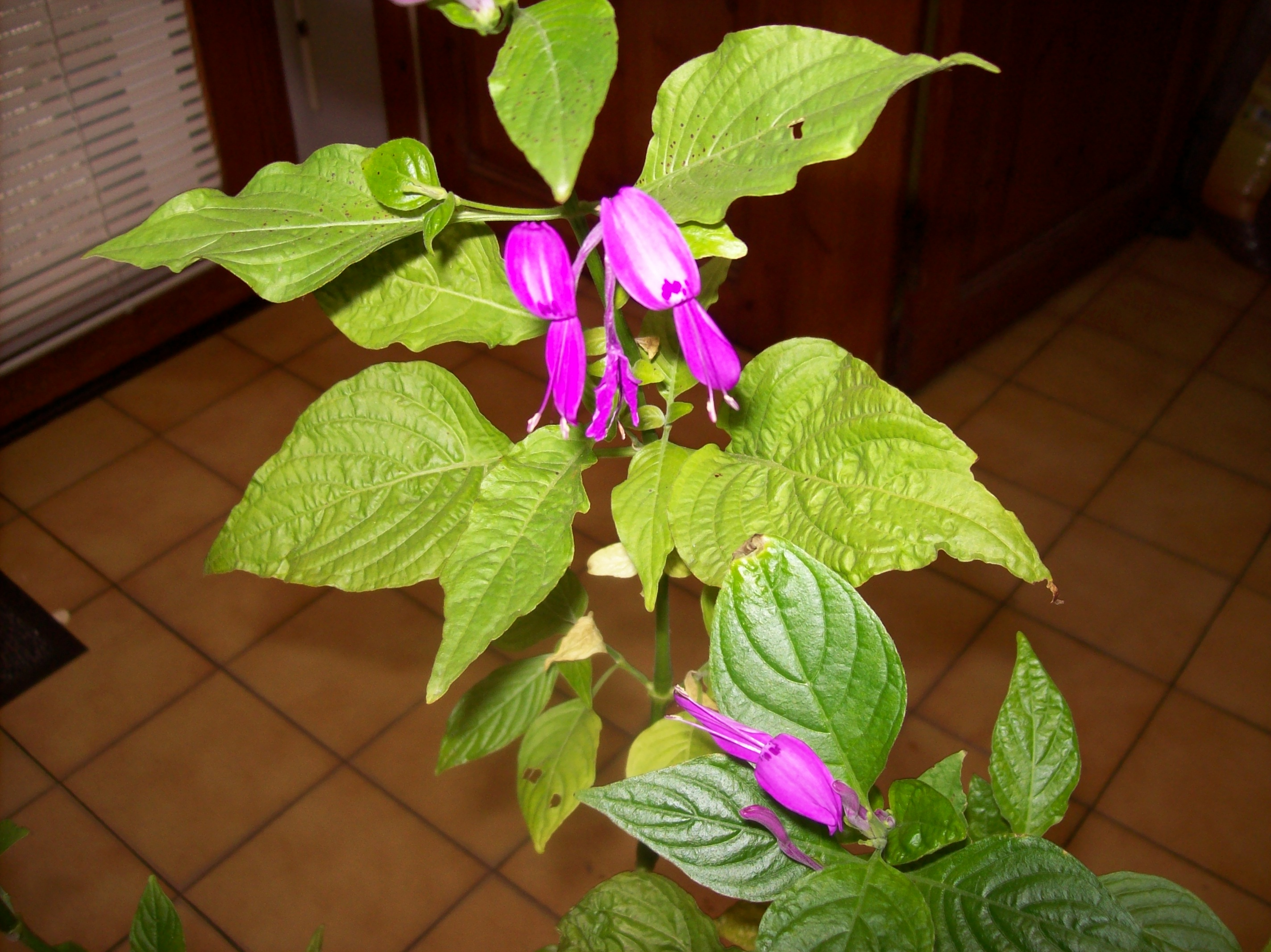 Quelques photos de plantes en fleurs en ce moment 409464peristrophespeciosaJPG