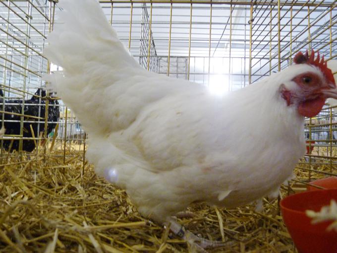 exposition d'aviculture Foire ST MATTHIEU 27 et 28 Septembre 2014 - Page 3 410352P1150727