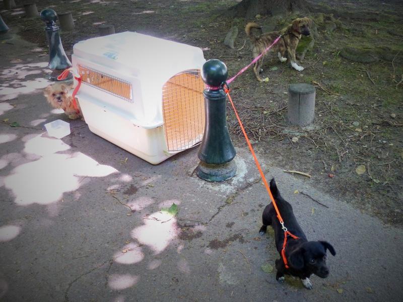 Yvona, née en 2011, petit modèle, chienne super sage 421800P10909402