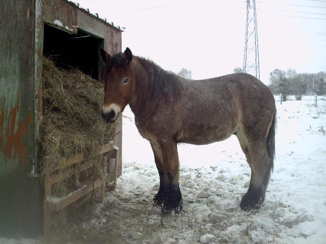 (dpt 27) VITTEAUX Trait Ardennais, né en 2009, rouan, hongre, NON MONTABLE (en famille d'accueil chez BENOIT) 424544PICT0268