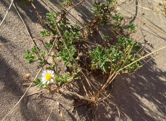 flore du littoral : plages, dunes, vases et rochers maritimes 445833asterace769edune1