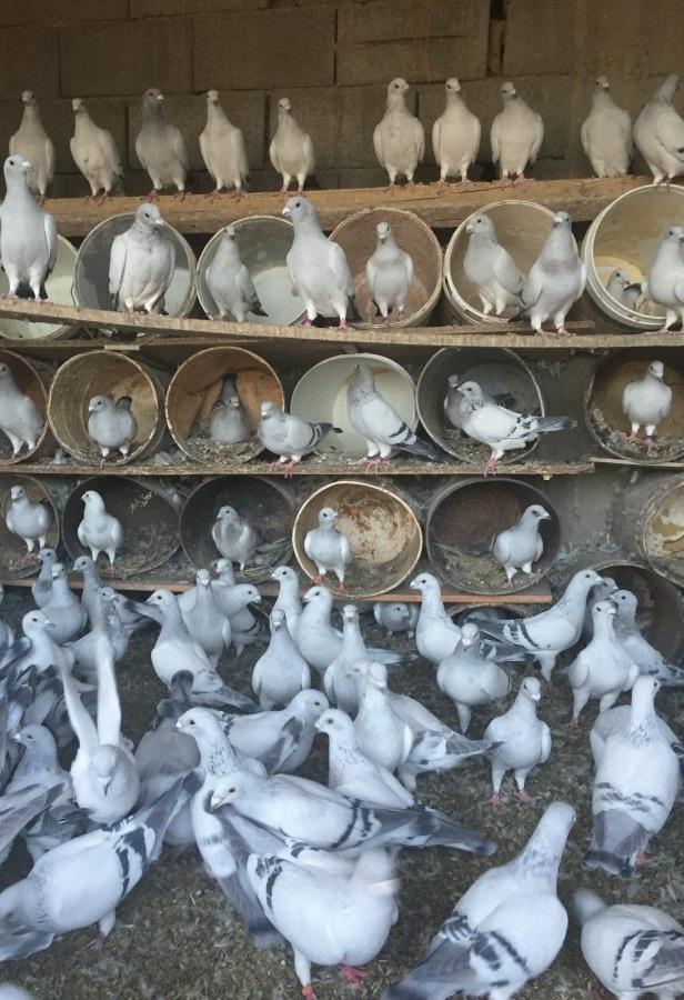 الوسم الطائف على المنتدى حراج الحيوانات 447529571