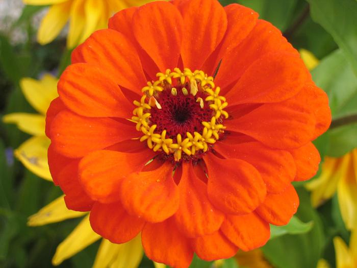 Fleurs,....fruit,.....tout ce qui se mange,...se boit....ou qui vient de la nature.......... - Page 2 448116zinia7pjpg