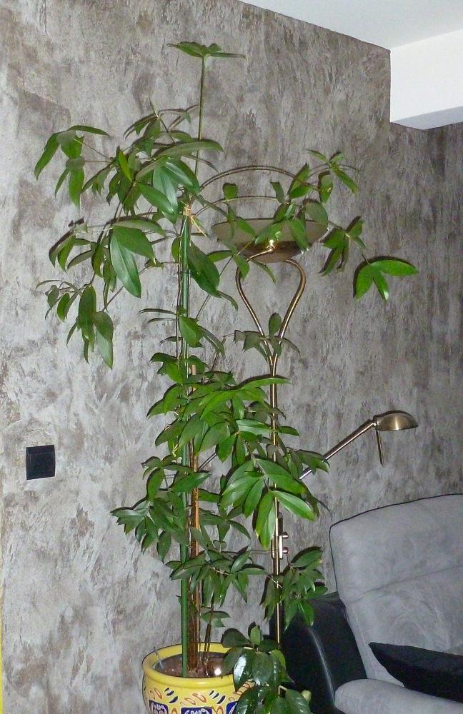 Dracaena Surculosa / Thaloides 454228P1000207