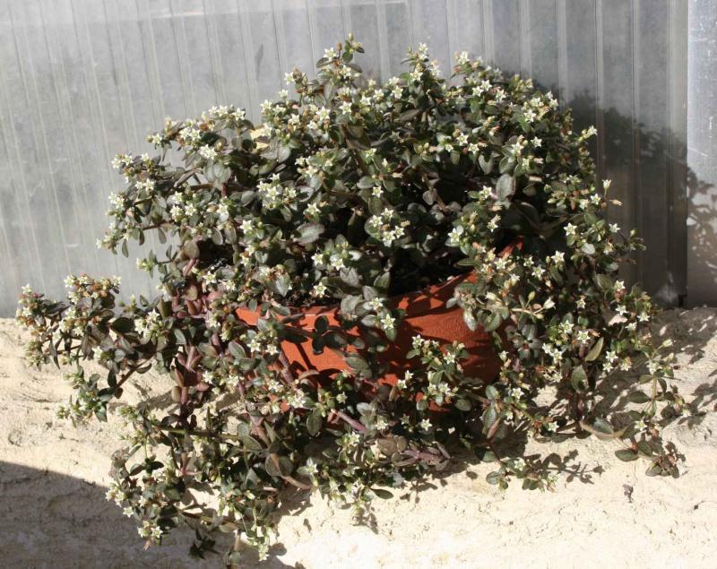 Crassula volkensii 454271crassulavolkensiiplante
