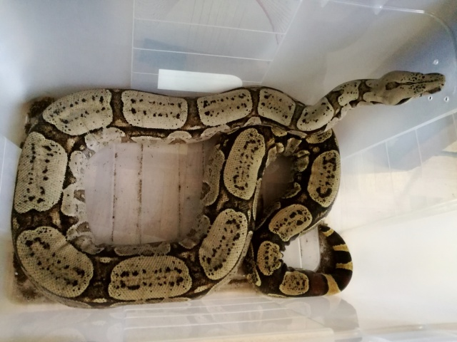 Boa constrictor amarali - Page 4 456052IMG20170329181308