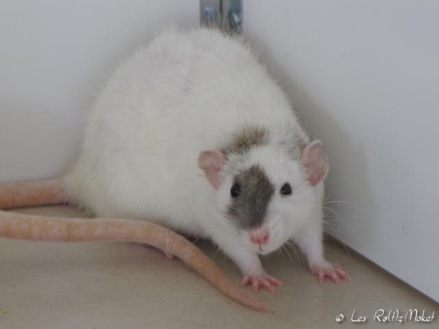 [GÉNÉTIQUE]  Marquages et dilutions du rat domestique 45986128060916
