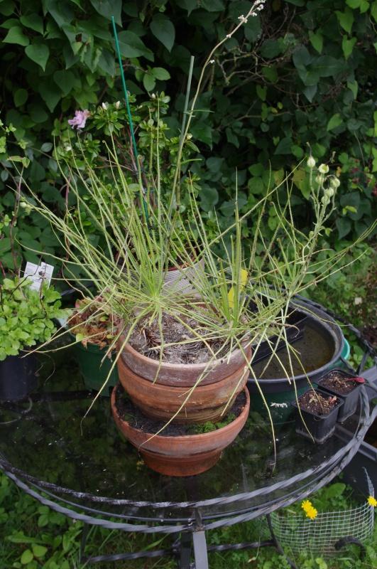 Drosophyllum Lusitanicum - Page 6 460160IMGP6195