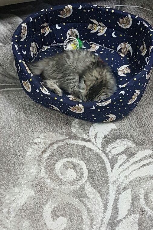 قطة شيرازي بيور للبيع 461560361
