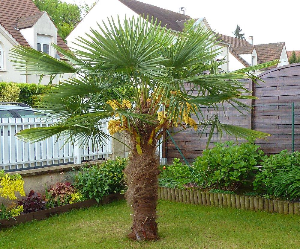petit palmier deviendra grand... 463472P1010757