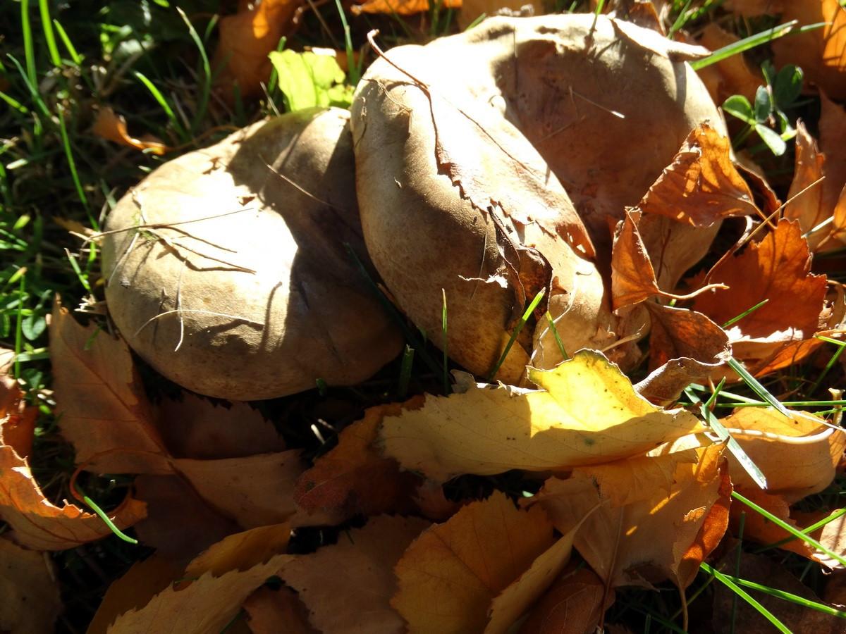 [fil ouvert] les champignons - Page 3 468359065Copier
