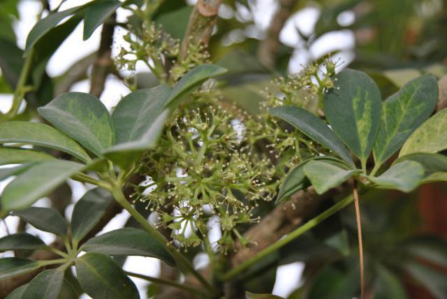 Après les orchidées, les hirondelles, mes plantes d'intérieur.... - Page 6 470978DSC3403JPG