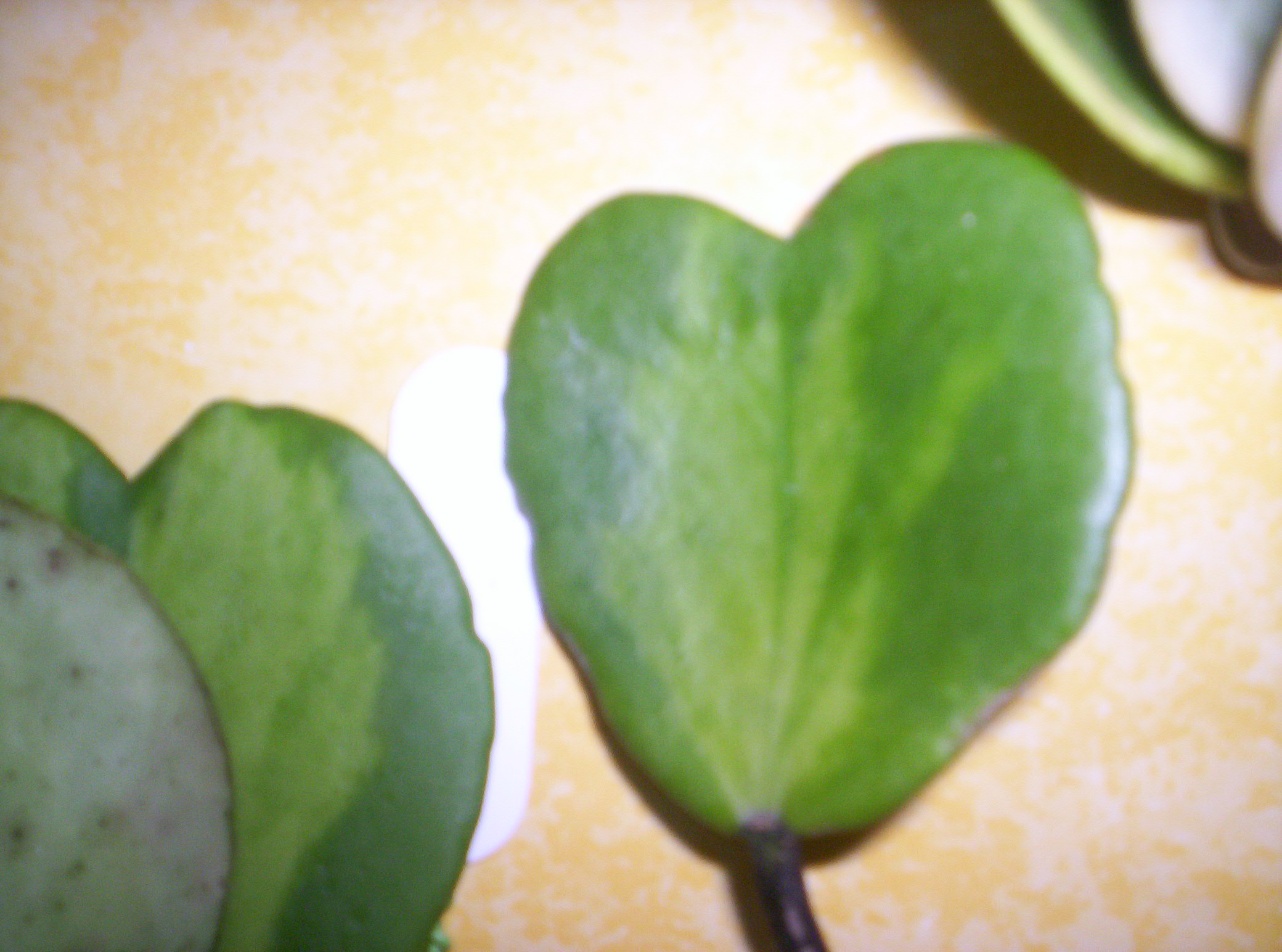 4 variétés de Hoya Kerii importés de thailande - Page 2 4732821000752