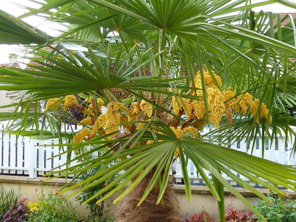 petit palmier deviendra grand... 481007P1010759
