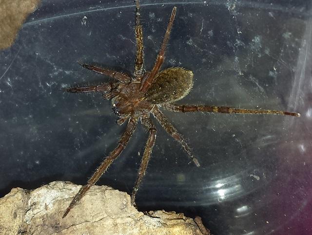 VDS/ECH Steatoda nobilis / Ctenidae sp / Segestria sp. 48474720140805163939