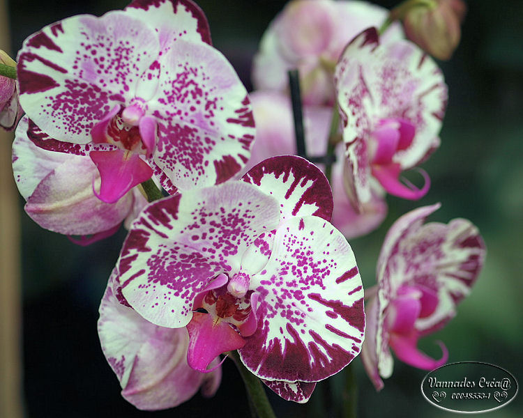 Mes Orchidées et Moi 485984684