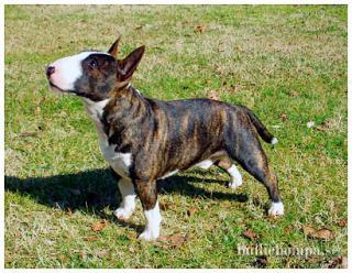 Bull Terrier Miniature 486791cassius8np9