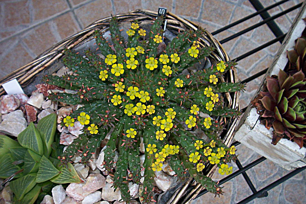 euphorbia gorgonis 490463Euphorbiaflanaganii003