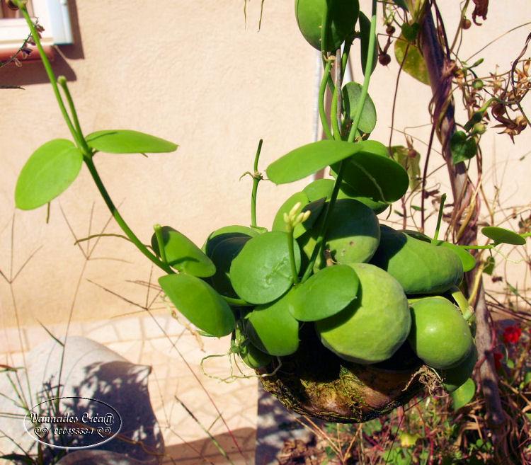 "Plante Dischidia et son Escargot  ""Curiositée) 491619252"