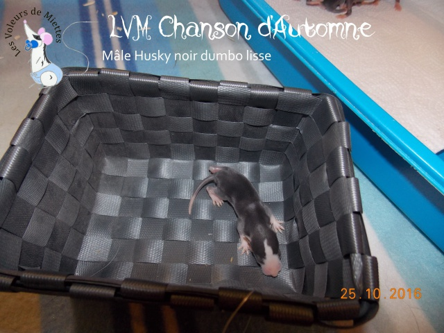 Portée 15: IND Cartoon x LVM Mademoiselle Noir 495088ChansondAutomne