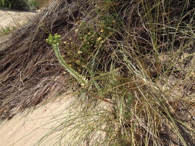 flore du littoral : plages, dunes, vases et rochers maritimes 496019IMG0418