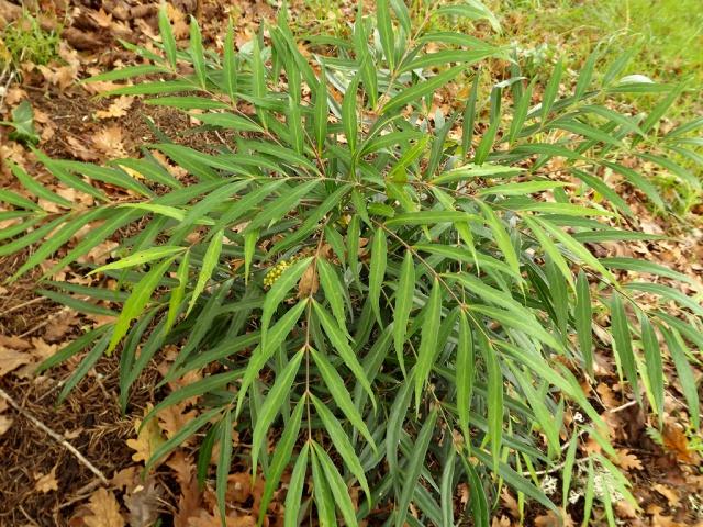 Mahonia eurybracteata 499006DSCF4317