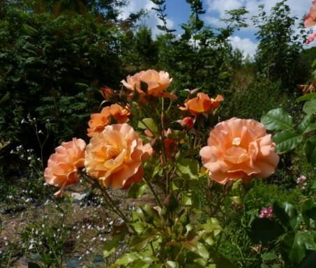 mes roses 2015 519914fleursdeprintemps347modifierjpg