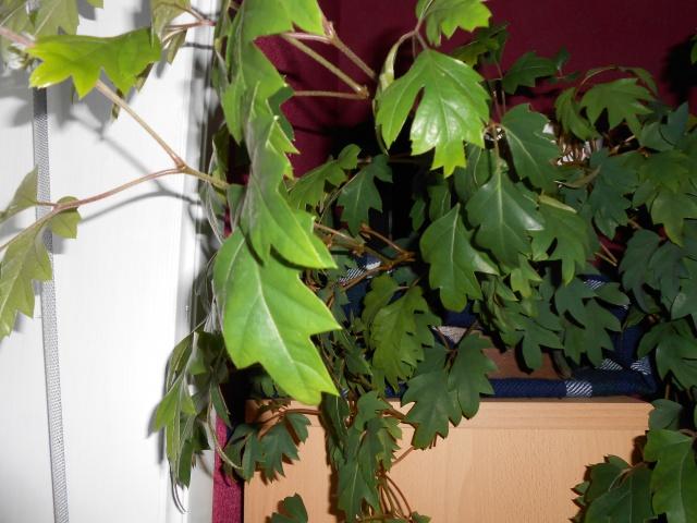 plantes d'intérieur 523020DSCN0177