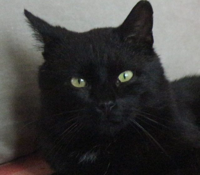 TIZON- mâle adulte noir-(fiv+)- FELIN POSSIBLE- à adopter. 532848338