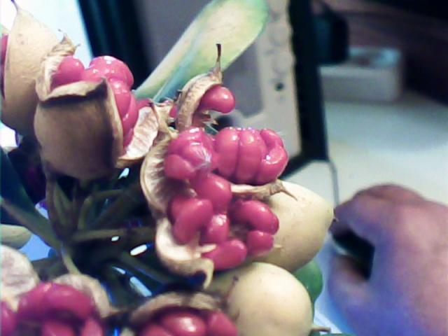 Pittosporum- un vert tendre  et une belle floraison 533766371