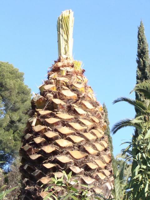 palmier - palmier, après le desespoir, un petit espoir.... 534127palmier007