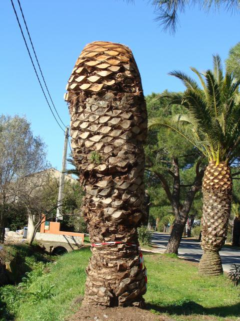 palmier - palmier, après le desespoir, un petit espoir.... 539574palmier002