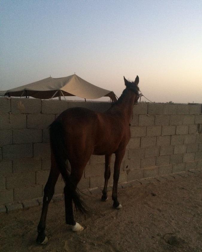 حصان عربي اصيل للبيع 543962703