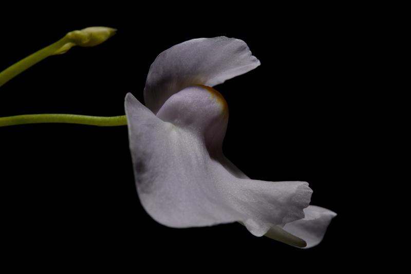 Utricularia longifolia 546098922