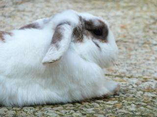 Nina, lapine bélier, née en aout 2011 - Page 8 551327P1160615