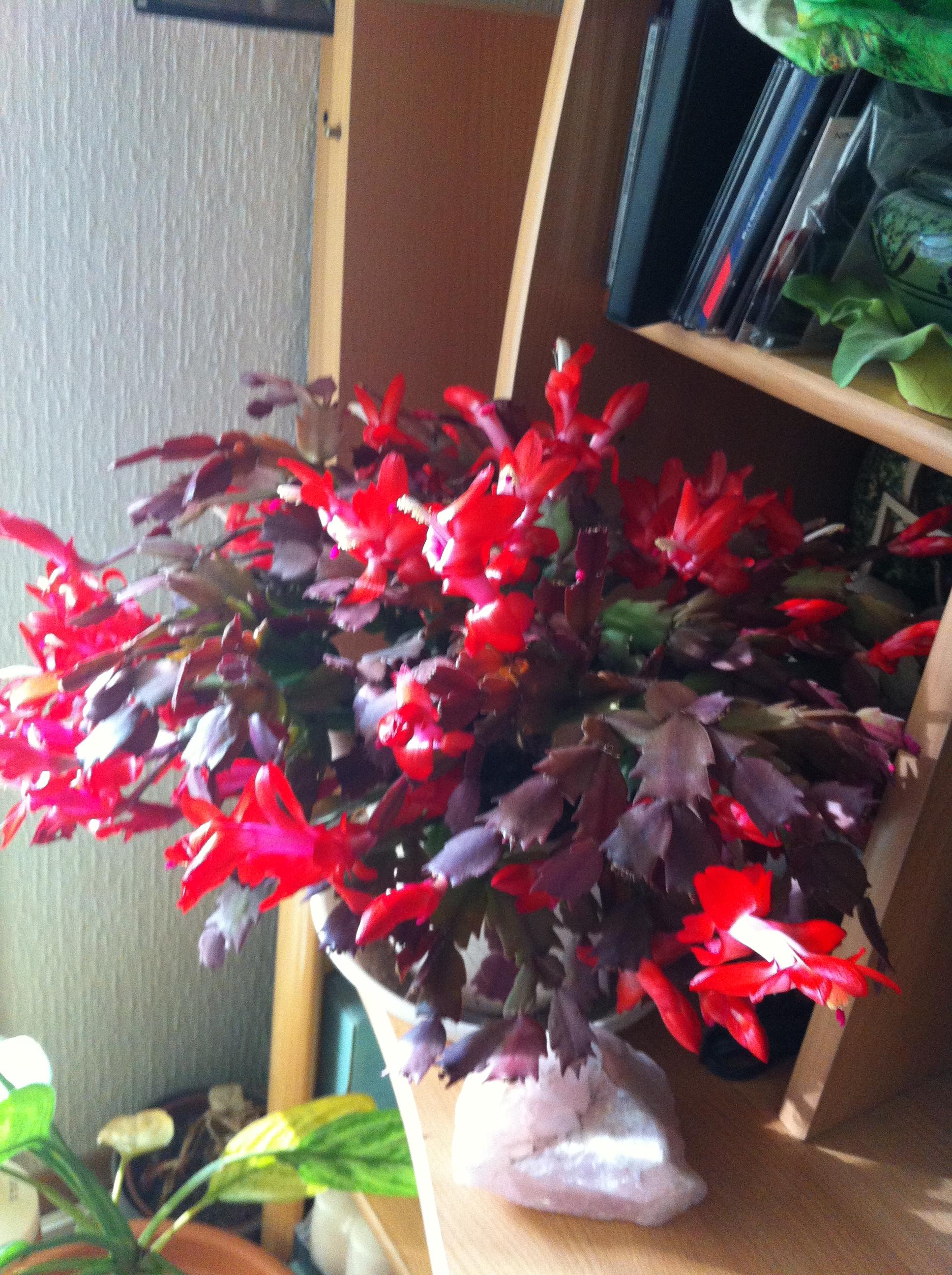 Ma bouture de mon cactus de noël (SCHLUMBERGERA) 55907920121113143611