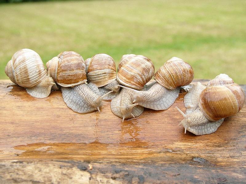 Chasse (ou cueillette, ou pêche) aux escargots au Rey 5604291200pxHelixpomatiaag