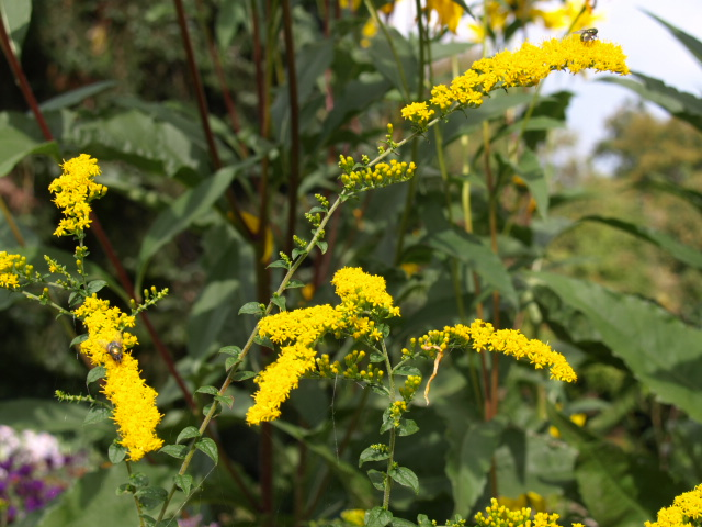 verge d'or ( Solidago ) - Page 2 561201P9233010