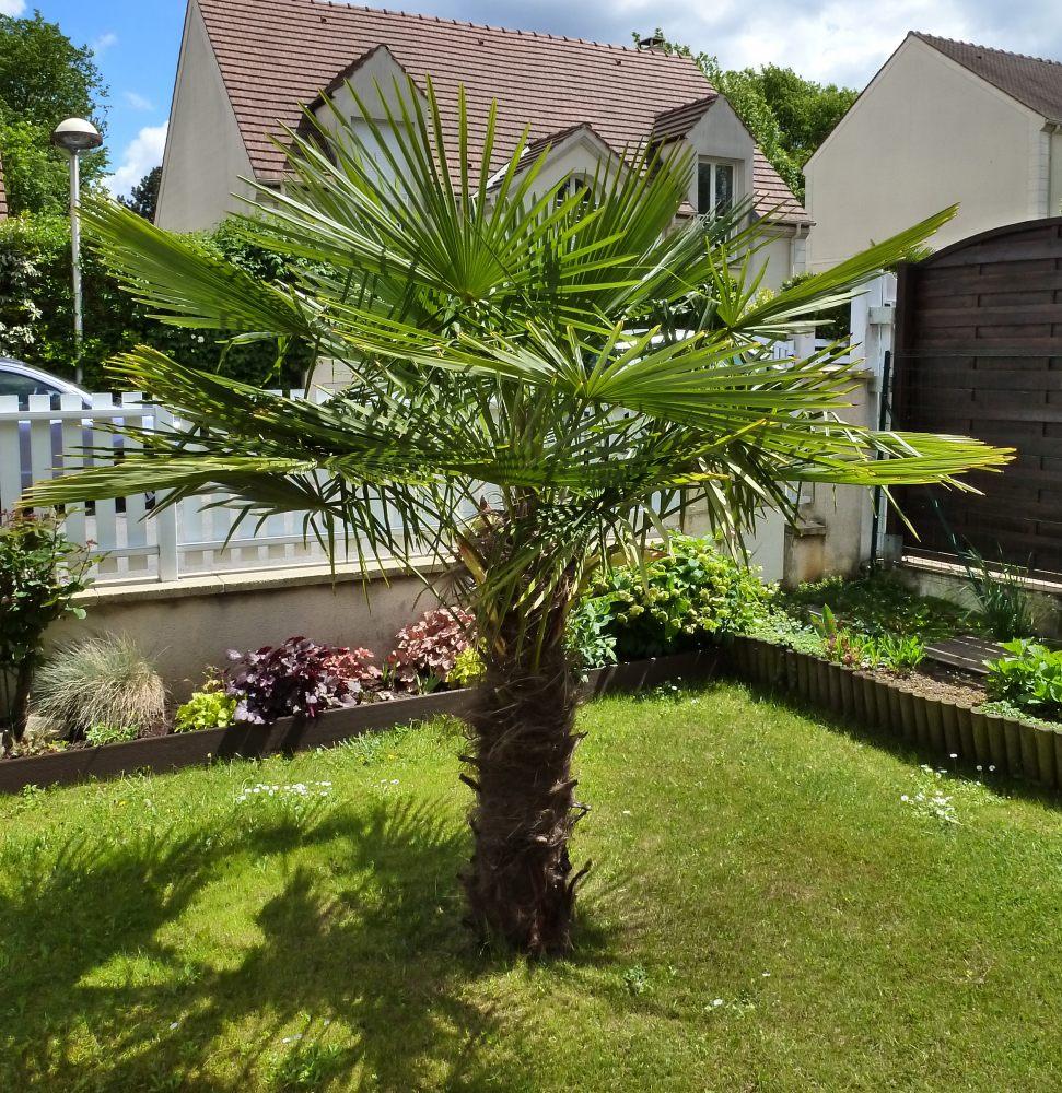 petit palmier deviendra grand... 567507Trachycarpus003