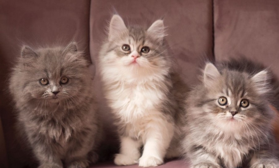 ثلاث قطط شيزاري للبيع 567733441
